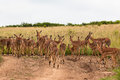 Impala Buck Calfs Females Stock Image