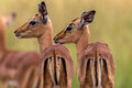 Impala Buck Calfs Portrait Stock Photography