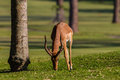 Impala buck green grass wildlife male animal eating in morning light in nature reserve Royalty Free Stock Photos