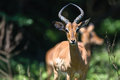 Impala buck horns animal wildife young male and head on in mating season Royalty Free Stock Photo