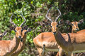 Impala buck males females wildlife young animals pause in contest fight in mating season Stock Image