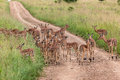 Impala Bucks Herd  Stock Photography