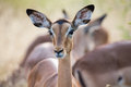 Impala doe head close-up portrait lovely colours