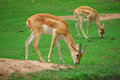 Impala eat grass in the zoo Royalty Free Stock Photography