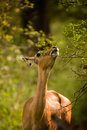 Impala eating Stock Photo