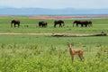 Impala With Elephants