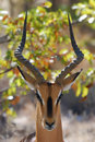 Impala en stationnement national d'Etosha Photographie stock