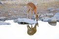 Impala in the Etosha National Park Royalty Free Stock Photo