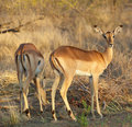 Impala Ewes Royalty Free Stock Image