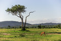 Impala grazing in the Maasai Mara national park with a big tree and mountains in the background (Kenya) Royalty Free Stock Photo