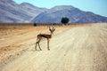 Impala grazing in the savannah Royalty Free Stock Photo