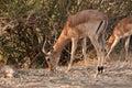 Impala grazing Royalty Free Stock Photo