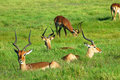 Impala herd Royalty Free Stock Images