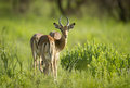 Impala imparla in the lust green grasses after the african rains head looking back at the lens Stock Photo
