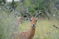 Impala knp south africa wildlife animals Royalty Free Stock Photo