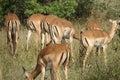 Impala Kruger National Park Royalty Free Stock Photo
