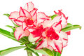 Impala Lily or desert rose Royalty Free Stock Photo