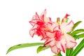 Impala Lily or desert rose or Mock Azalea Royalty Free Stock Photo