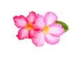 Impala lily desert rose mock azalea pinkbignonia adenium beautiful or flower stock photo Stock Images
