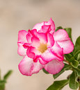 Impala Lily, Desert Rose, Mock Azalea, Pinkbignonia Royalty Free Stock Photo