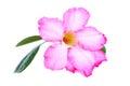 Impala lily desert rose mock azalea pinkbignonia adenium or stock photo Stock Image
