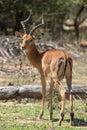Impala at the mokolodi nature reserve in botswana Stock Photography