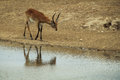 Impala near river a male in the african reserve of sigean Royalty Free Stock Images
