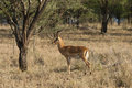 Impala ram alert in the savannah of the serengeti africa Royalty Free Stock Photos