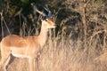 Impala ram in bush Royalty Free Stock Photo