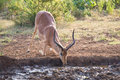 Impala ram down on his knees drinking water at sunset in a small pool Royalty Free Stock Photo