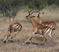 Impala running - Botswana Royalty Free Stock Images