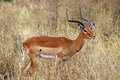 An impala standing in long grass Stock Photography