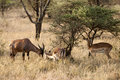Impala and topi antelope feeding in the savannah of the serengeti africa Royalty Free Stock Image
