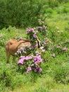 Impala in the wild Royalty Free Stock Photo