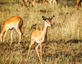 Impala in wild Royalty Free Stock Photo