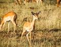 Impala in wild Royalty Free Stock Photo