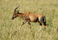 Impala in the wild gazelle topi antelope tanzania national parks Stock Photos