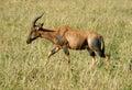 Impala in the wild gazelle topi antelope tanzania national parks Stock Photos