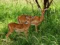 Impala in the wild gazelle topi antelope tanzania national parks Stock Images