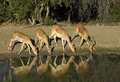 Impalas drinking water Stock Photography