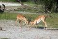 Impalas Royalty Free Stock Photo