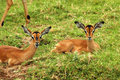 Impalas in the grass Royalty Free Stock Images