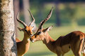Impalas males buck green grass wildlife two impala animal alert morning light in nature reserve Royalty Free Stock Photo