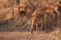 Impalas in savannah herd of during sunrise african Stock Image