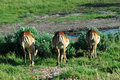 Impalas and watering hole Royalty Free Stock Photography