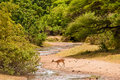Impale antelope crossing a river Royalty Free Stock Photo