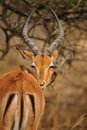Impapa Antelope and Oxpecker Royalty Free Stock Photos