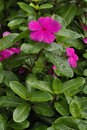 Impatiens Royalty Free Stock Photo
