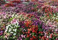 Impatiens flower carpet background multi color flowers Stock Photos