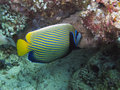 Imperial Angelfish (Pomacanthus imperator) Royalty Free Stock Photo